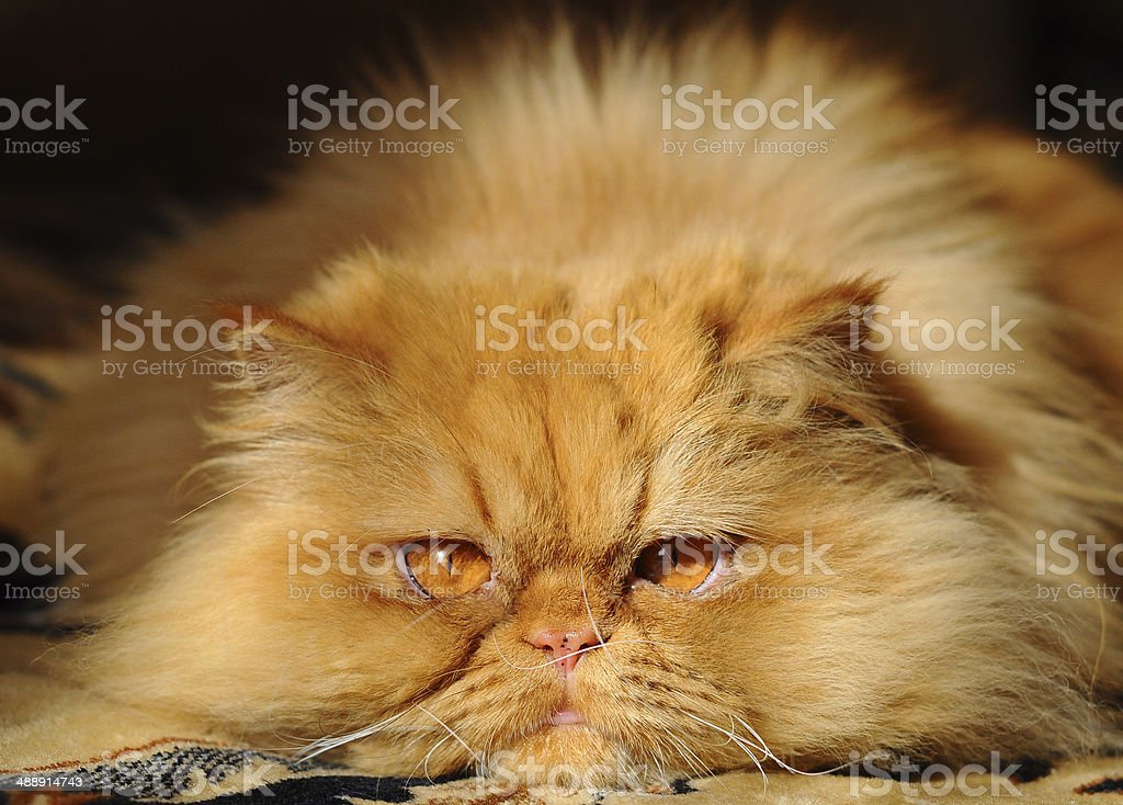 Huge red cat persian