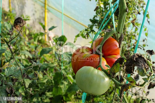 Huge red ripe tomato on the plant. Green unripe tomatoes next to a huge tomato. Tomato in a greenhouse.