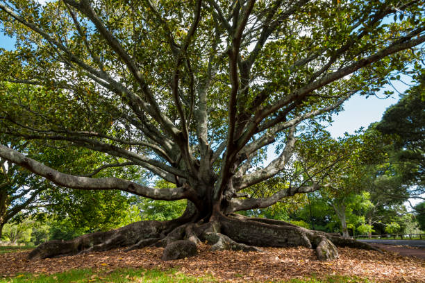 Huge Root Trees in the Auckland Domain Park stock photo