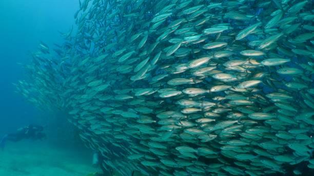 Huge school of fish swimming in line undersea in Galapagos stock photo