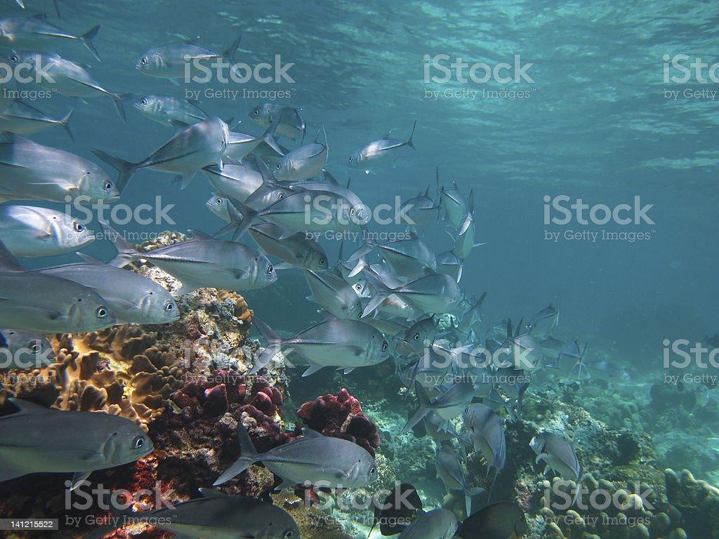 huge school of jackfish royalty-free stock photo
