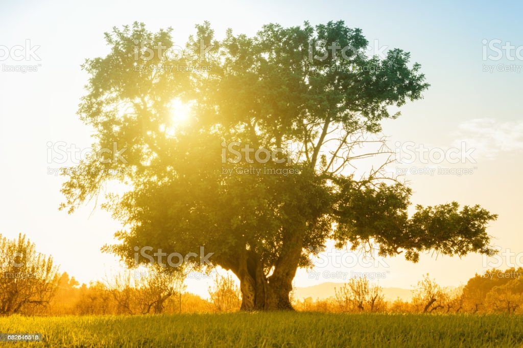 huge single tree on hill in backlit - carob tree stock photo