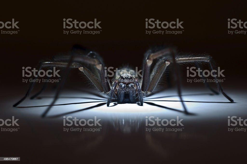 Enorme Aranha de emboscada. - foto de acervo