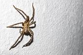 Huge orange spider on house wall in Peten, Guatemala