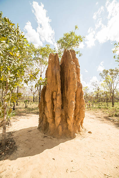 Huge termite mound in Litchfield National Park, Northern Territories, Australia Termite mound in the Litchfield National Park, Northern Territories, Australia. isoptera stock pictures, royalty-free photos & images
