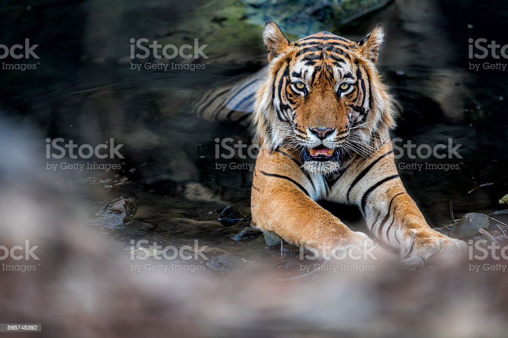Huge tiger male face to face in the watter stock photo