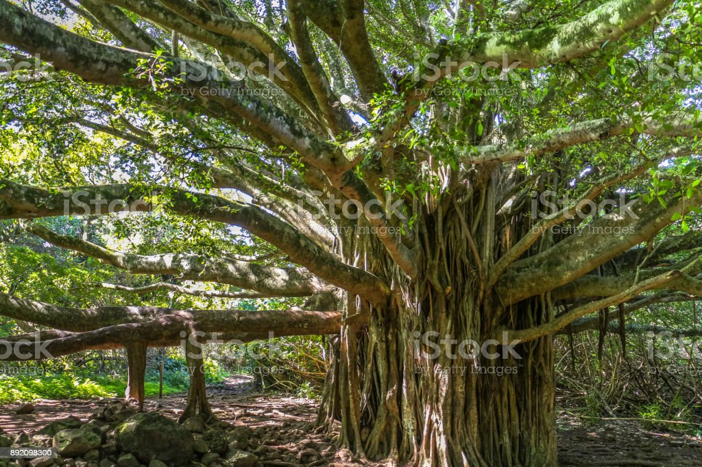 Huge tree in the jungle of Maui island, Hawaii stock photo