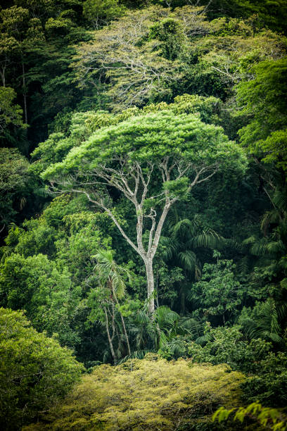 huge tree in the tropical rainforest in panama stock photo