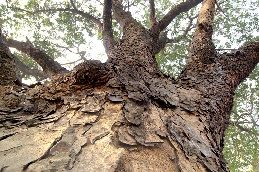 Huge Tree Root High Up In Towards Sky Stock Photo - Download Image ...