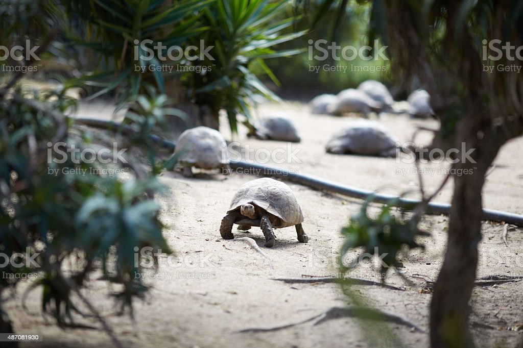 huge turtles in South Africa stock photo
