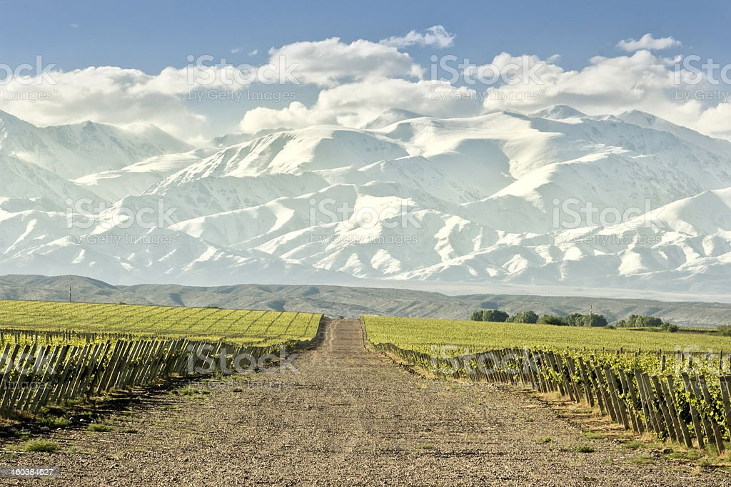 Huge vineyard with snowing mountain stock photo