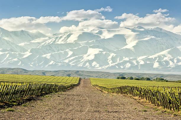 Huge vineyard with snowing mountain stock photo