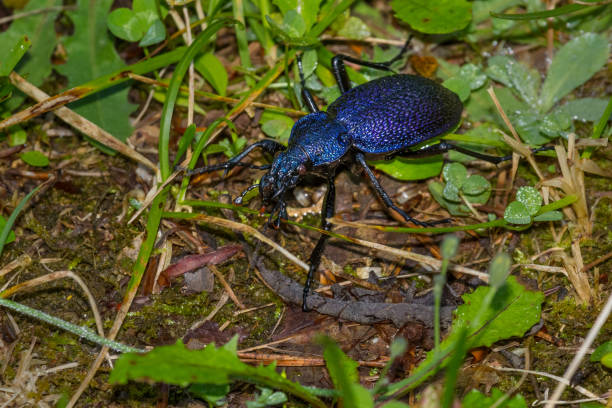Huge Violet Ground Beetle - Carabus (procerus) scabrosus stock photo