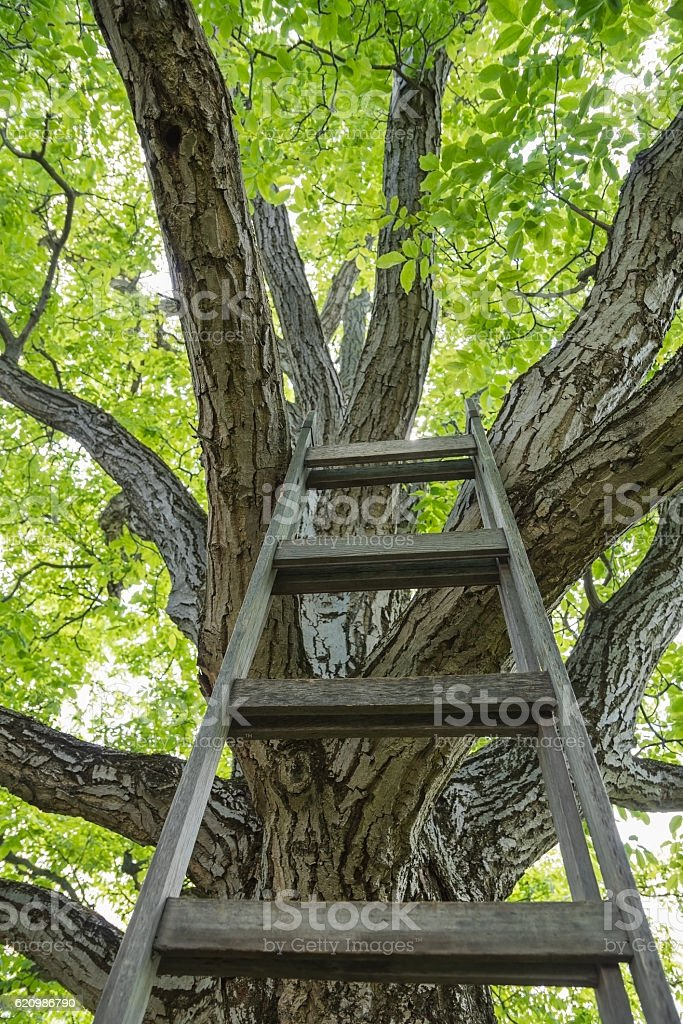 Huge walnut tree with ladder foto royalty-free