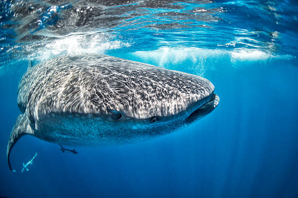 Huge whale shark in the clear water Whale shark swimming in the sea just below the water surface. Few other smaller fishes can be seen below. whale shark stock pictures, royalty-free photos & images