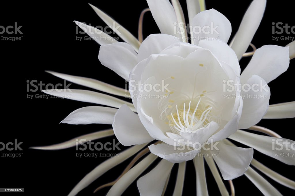 Huge White Night Blooming Cereus (Epiphyllum) Flower against Black royalty-free stock photo