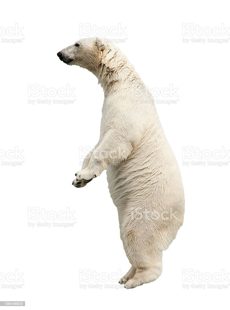 A huge white polar bear standing on its feet  stock photo