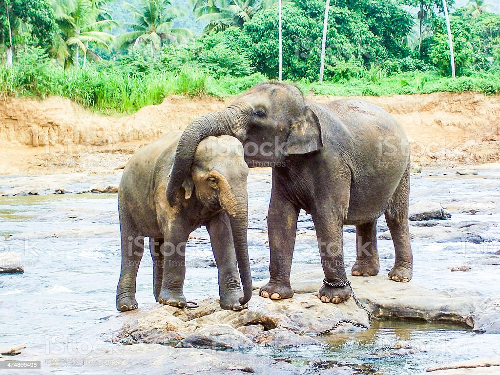 hugging elephants in the river stock photo
