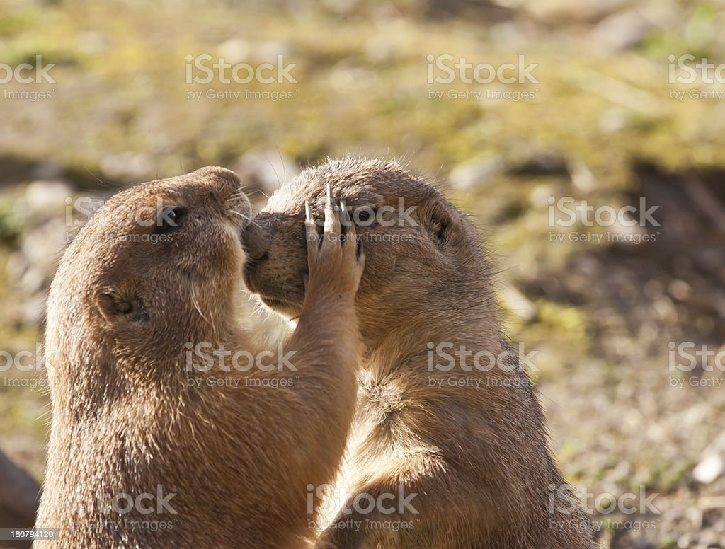 hugging prairie dogs royalty-free stock photo