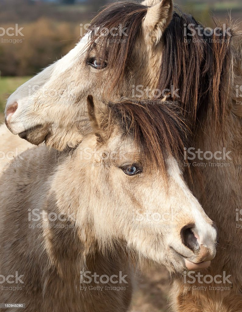 Hugs-two very similar ponies standing entwined together royalty-free stock photo