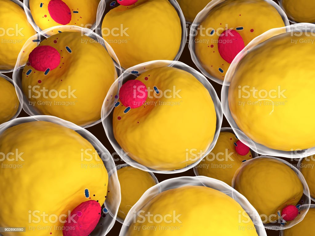 Human adipocytes stock photo