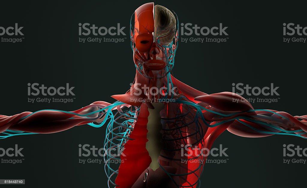 Human Anatomy 3d Male Torso Showing Layersbacklit On Dark Background ...