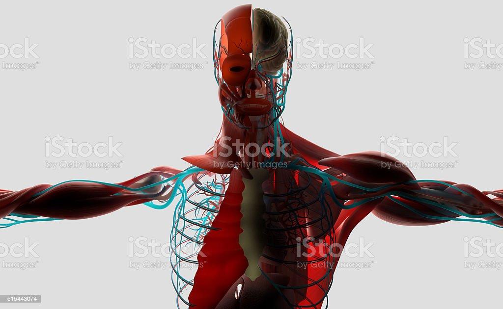 Fotografía de Anatomía Humana 3d Macho Mostrando Torso Capasback ...