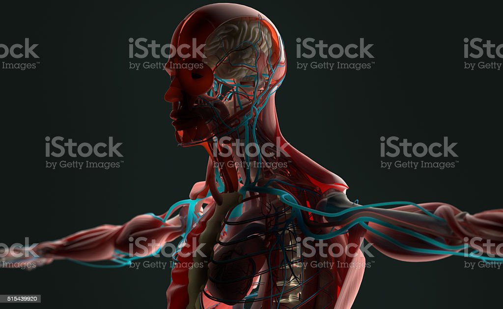 Menschliche Anatomie 3d Männchen Oberkörper Mit Ebenen Beleuchtete ...
