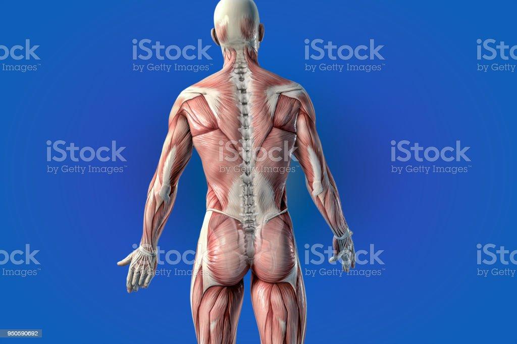 Fotografía de Anatomía Humana Visión Anatómica Dolor De Espalda y ...