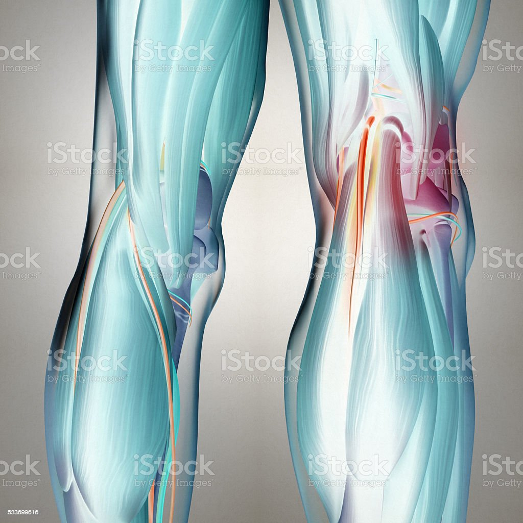 Human Anatomy Back Of Legs Calf Muscles Knees 3d Illustration Stock ...