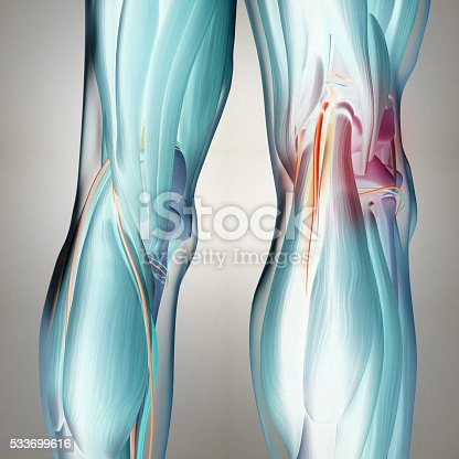 Human Anatomy Back Of Legs Calf Muscles Knees 3d Illustration Stock
