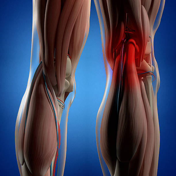 Human anatomy. Back of legs, calf muscles, knees, 3d illustration. - Photo