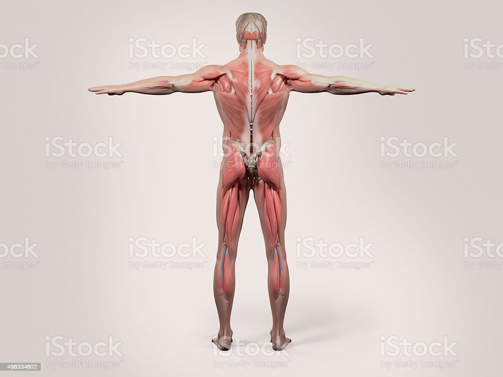 Human Anatomy Back View Of Full Body Stock Photo More Pictures Of