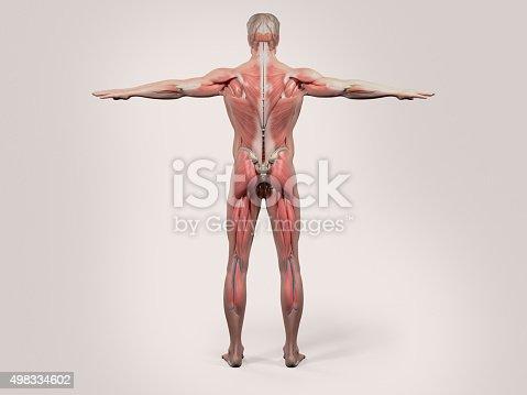Human Anatomy Back View Of Full Body Stock Photo Istock