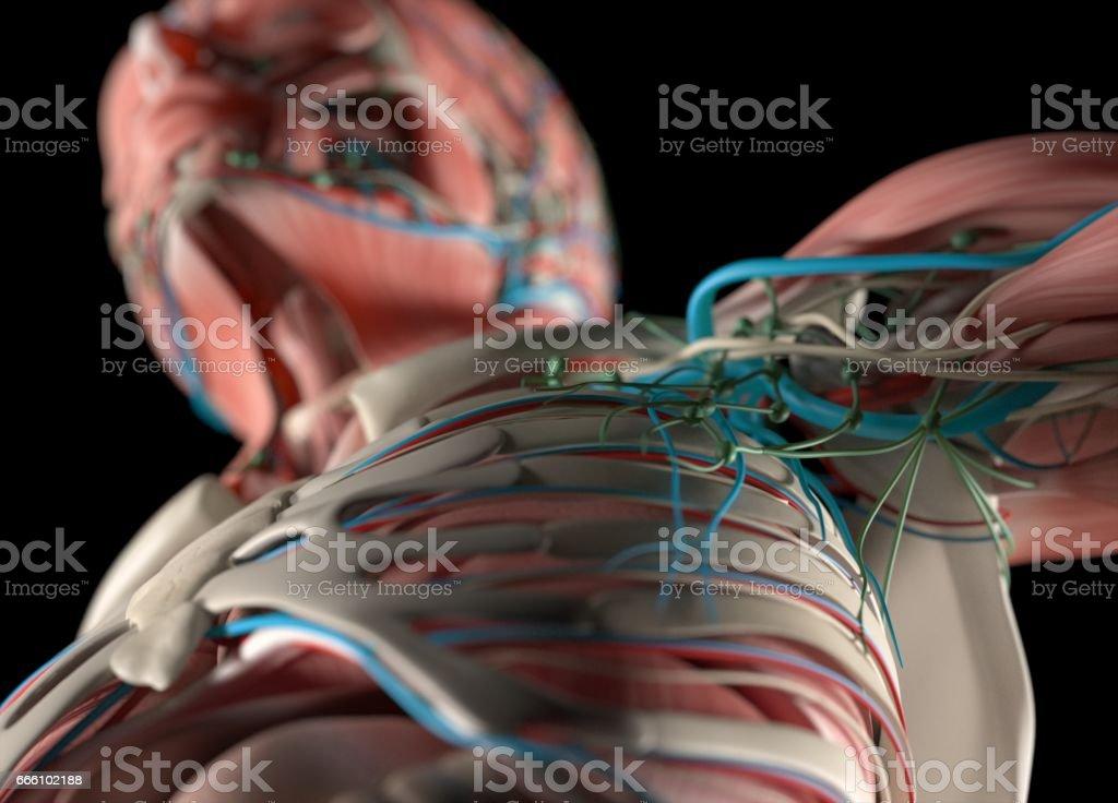 Human anatomy body. Muscular, skeletal, vascular & nervous system. stock photo