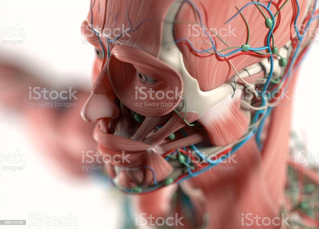 Fotografía de Cuerpo De La Anatomía Humana Muscular Esquelético ...