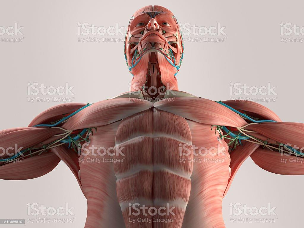 Fotografía de Anatomía Humana De Tórax De ángulo Bajo Estructura ...
