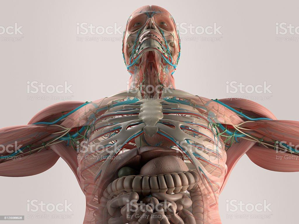 Menschliche Anatomie Der Brust Aus Niedrigen Winkel Knochen Struktur ...
