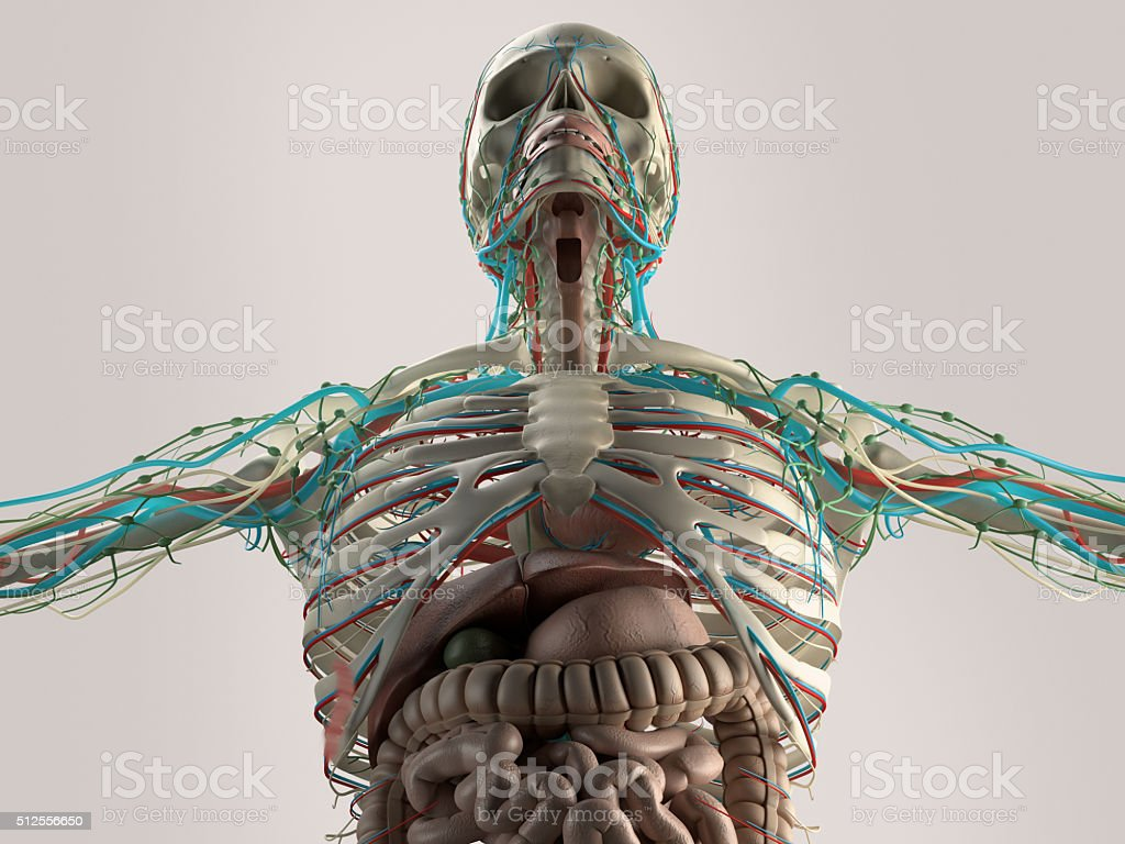Human Anatomy Chest From Low Angle Bone Structure Veins Muscle Stock