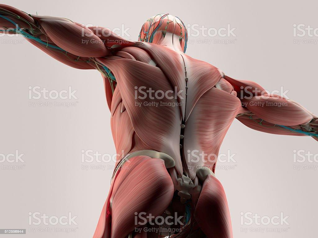 Anatomía Humana Detalle De Espalda De La Columna Vertebral ...