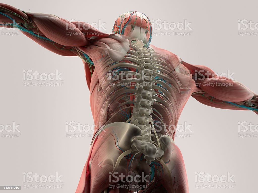 Fotografía de Anatomía Humana Detalle De Espalda De La Columna ...