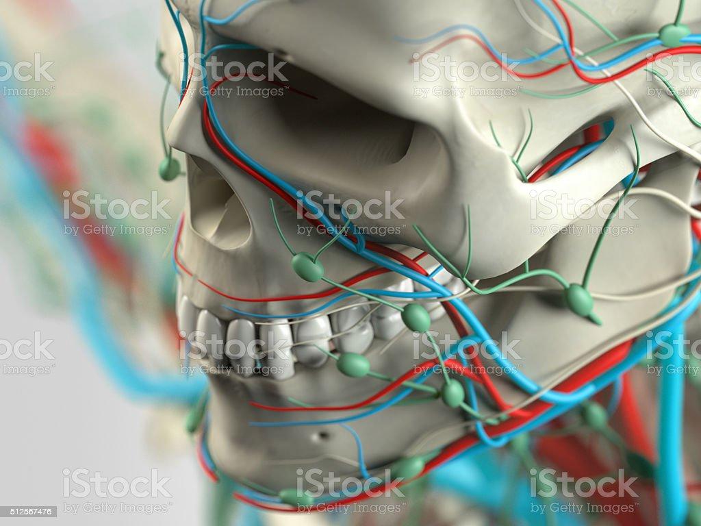 Menschliche Anatomiedetail Von Gesicht Wange Knochen Muskeln Stock ...