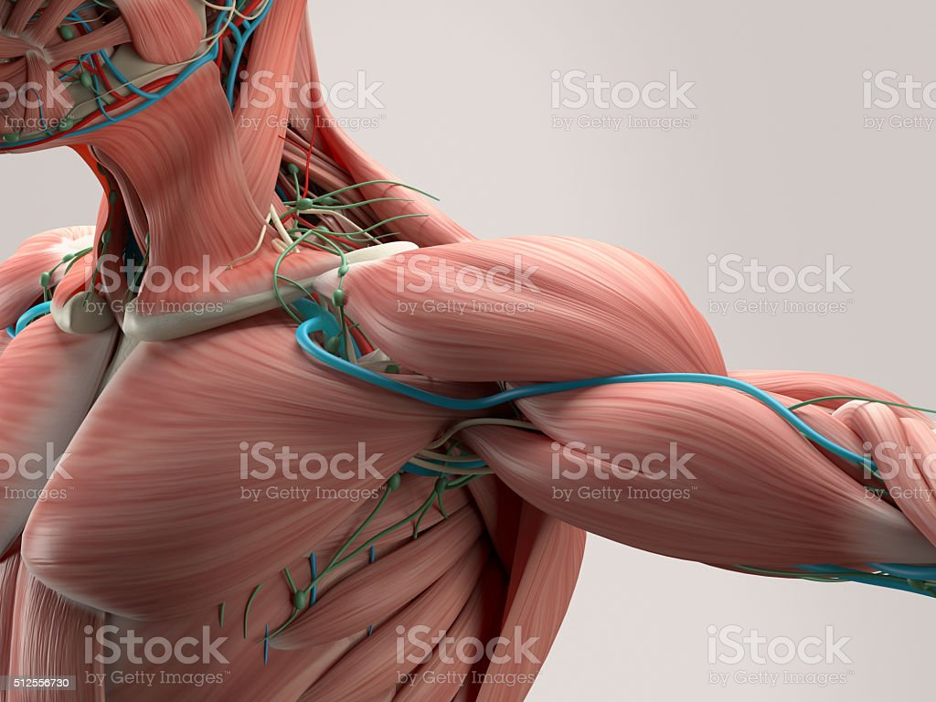 Human anatomy detail of shoulder. Muscle, bone structure, arteries. stock photo