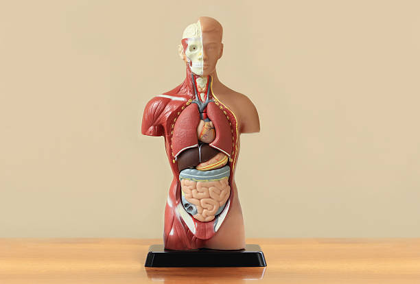 Human anatomy display on wooden table stock photo