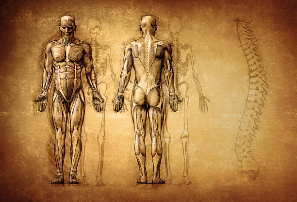 human anatomy drawing, old, canvas human anatomy drawing, old, canvas spine body part stock pictures, royalty-free photos & images