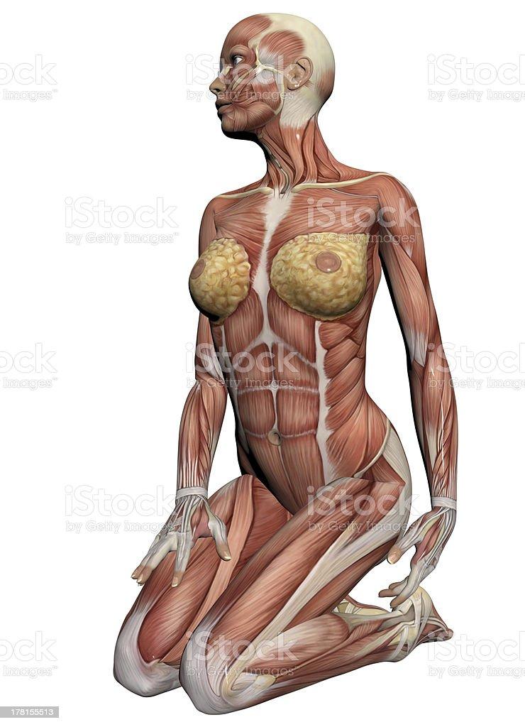 Menschliche Anatomieweibliche Muskeln Stock-Fotografie und mehr ...
