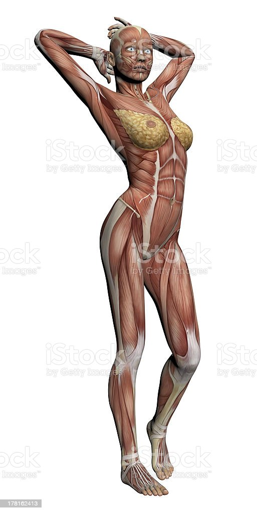 Human Anatomy - Female Muscles stock photo