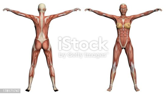 135895161istockphoto Human Anatomy - Female Muscles 178171747