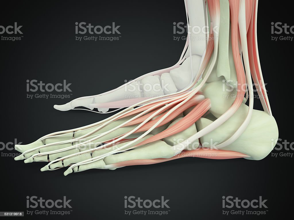 Human Anatomy Foot 3d Illustration Stock Photo & More Pictures of ...