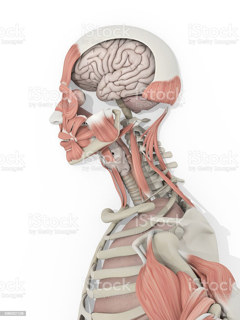 Human Anatomy Head And Brain Medical Illustration Stock Photo & More ...